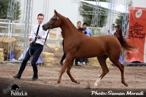 Forelock's Veronique Iran Gold Champion 1