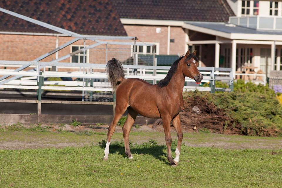 Sale Horses - Forelocks Arabians